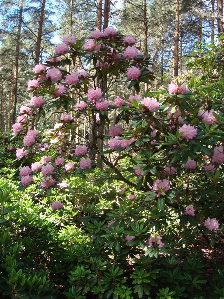 Alppiruusut menestyvät puistossa kasvaen jopa pienten puiden mittoihin